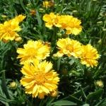 Coreopsis-Marigold-GPM Landscape
